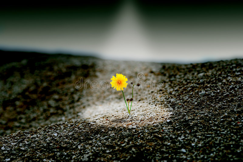 Save the last. Yellow dandelion on desert of stones in direct light stock photography