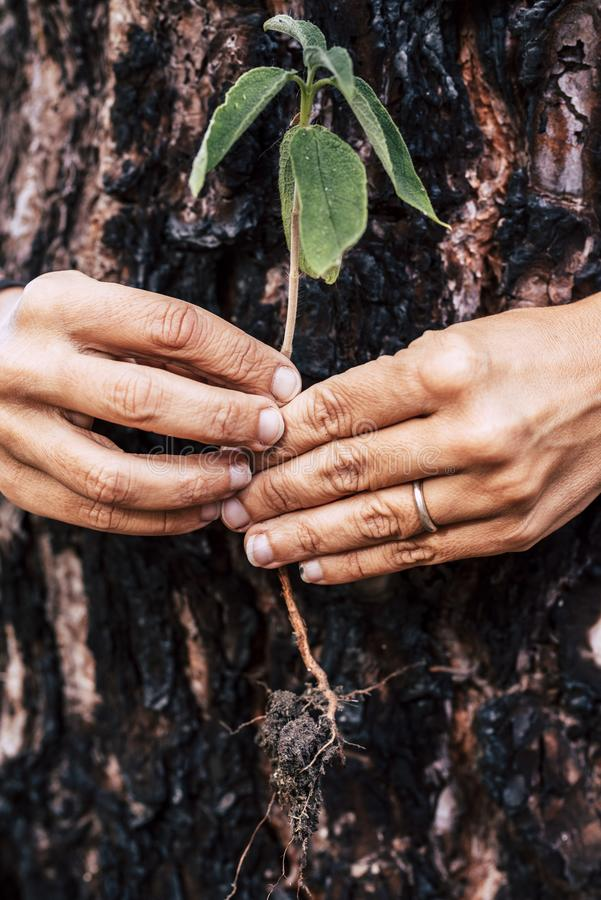 Save the planet earth - no deforestation concept - life after wood fire burn - human hands. holding a little new treenear a burned. Pine to say have care of our stock photography