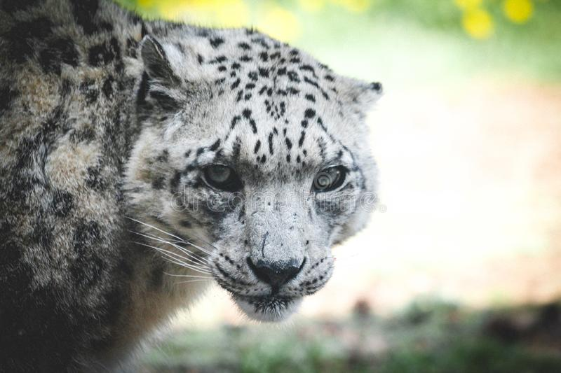 Save the Snow Leopards royalty free stock photo