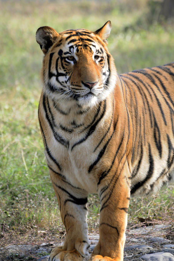 Free Save Tiger Project Royalty Free Stock Image - 12463136