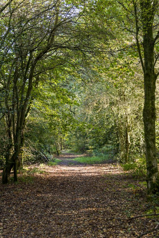 Savernake Forest - England`s larger forest stock photo
