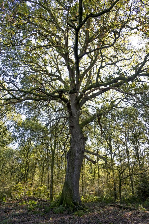 Savernake Forest - England`s larger forest royalty free stock photos