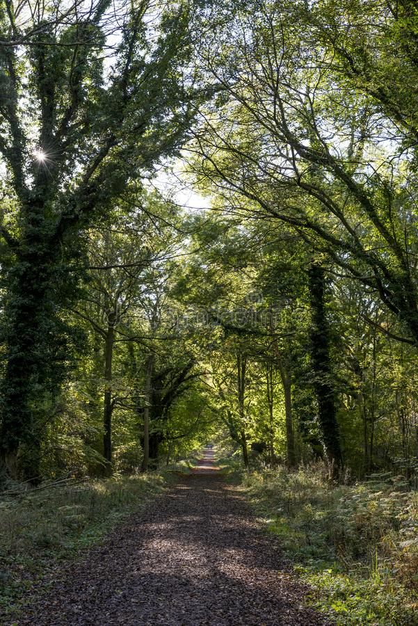 Savernake Forest - England`s larger forest stock photography