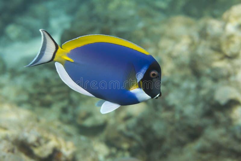 Saveur de bleu de poudre (leucosternon d'Acanthurus) en mer d'Andaman, Thail images stock