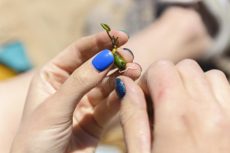 Saving a life, a girl holding a plant sprout. the concept of continuation of life in an. Y conditions stock image