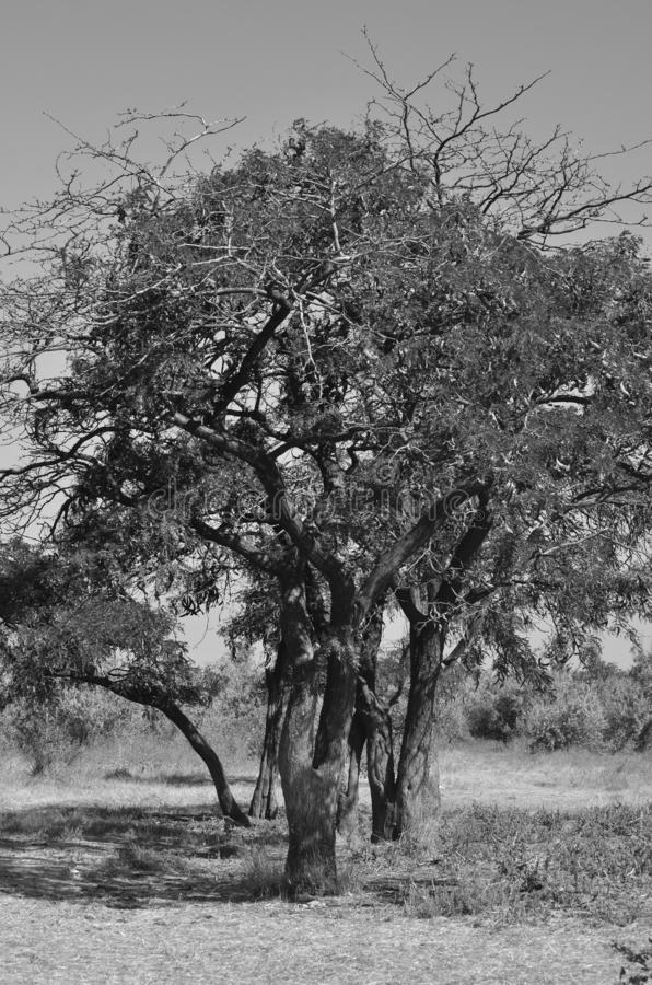 Trees of wild acacia under the hot summer sun. Central focus. Monochrome stock images