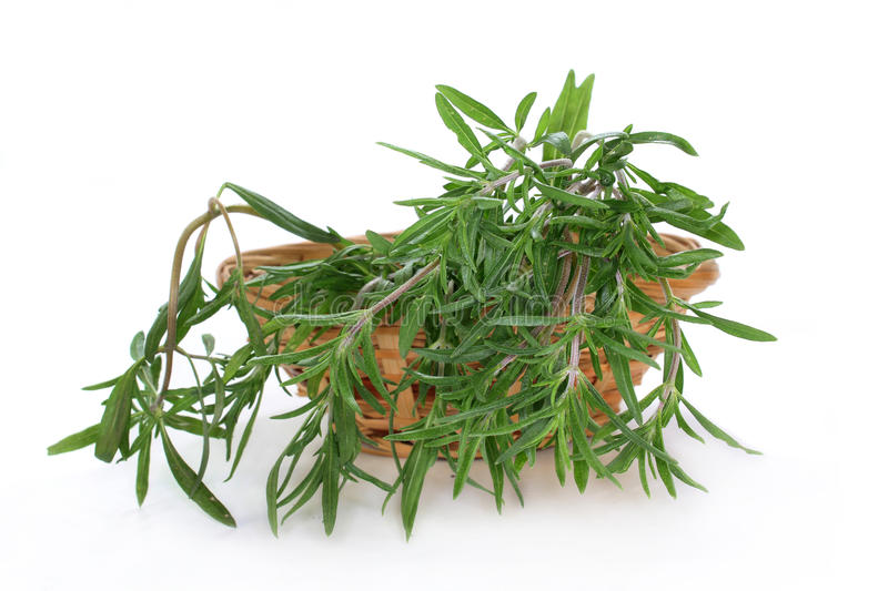 Savory. A bunch of summer savory in front of white background stock photography