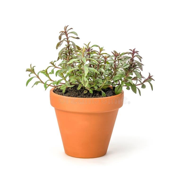 Savory. In a clay pot stock photos