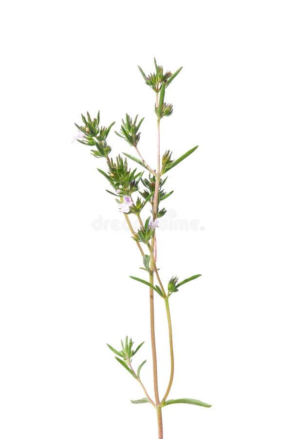 Savory (hortensis do Satureja) fotografia de stock