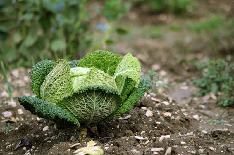 Savoy cabbage. One plant of savoy cabbage in the garden stock image