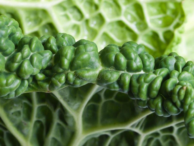 Savoy Cabbage Detail royalty free stock photo