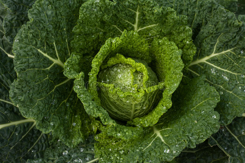 Download Savoy cabbage in the field stock image. Image of culinary - 16246091