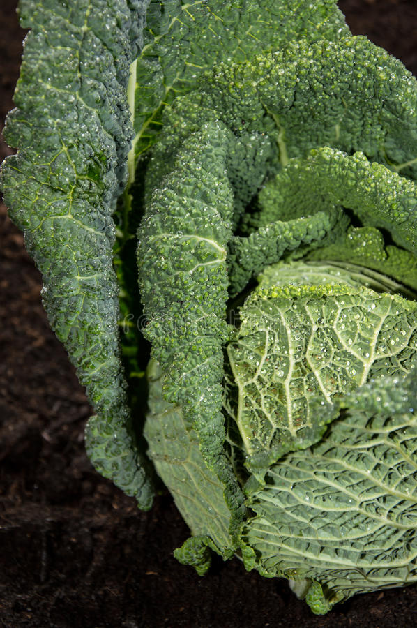 Download Savoy in the Garden stock photo. Image of fresh, cabbage - 26214870