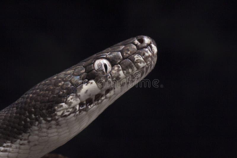 savuensis aux yeux blancs de mackloti de Liasis de python d'isolement sur le fond noir photo stock