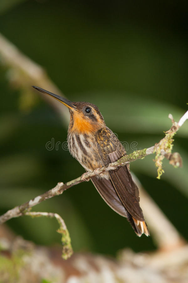 Download Saw-billed Hermit stock image. Image of brazil, hermit - 60083749