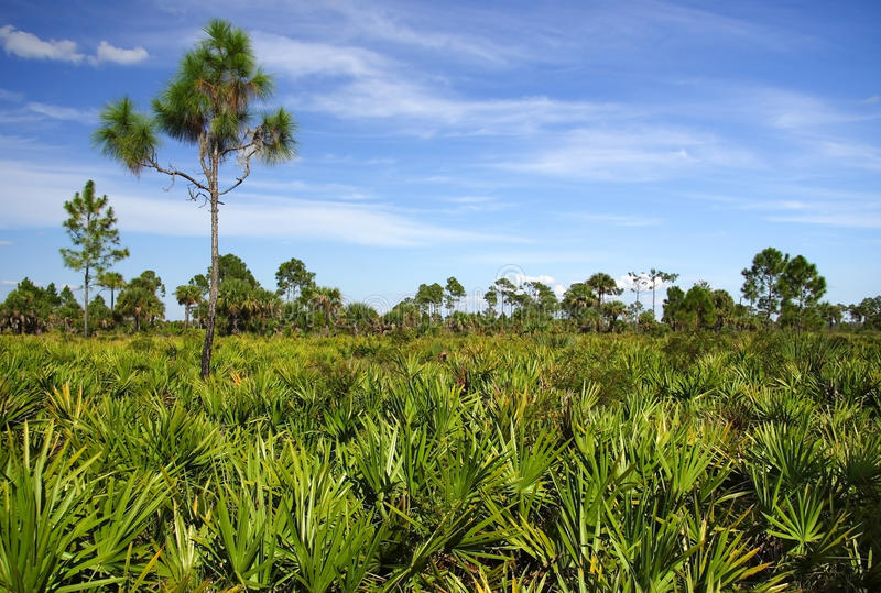 Saw Palmetto. And pines dominate the landscape, Big Cypress National Preserve stock images