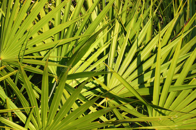 Saw Palmetto Background. Fronds of saw palmetto (Serenoa repens) in central Florida royalty free stock photo