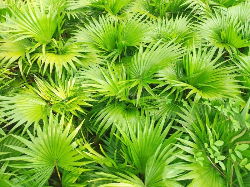 Saw palmetto in the botanical garden. Beautiful Saw palmetto in the garden. It is a one kind of herbal plant royalty free stock photos