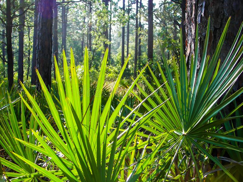 Saw Palmetto. Closeup view of saw palmetto fronds in the forest stock photo