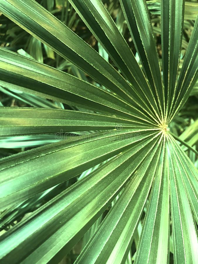 Saw palmetto, Green, Small Palm with thin leaves. Saw palmetto, is the sole species currently classified in the genus Serenoa. It is a small palm, growing to a royalty free stock image