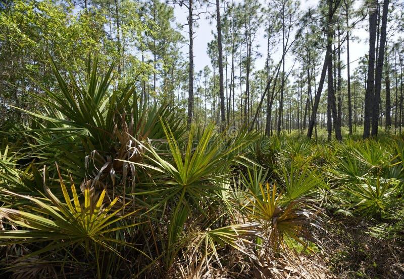 Saw Palmetto Abounds at Tarkiln Bayou Preserve State Park. Saw Palmetto plants carpet slash pine forest floor at Tarkiln Bayou Preserve State Park royalty free stock photo