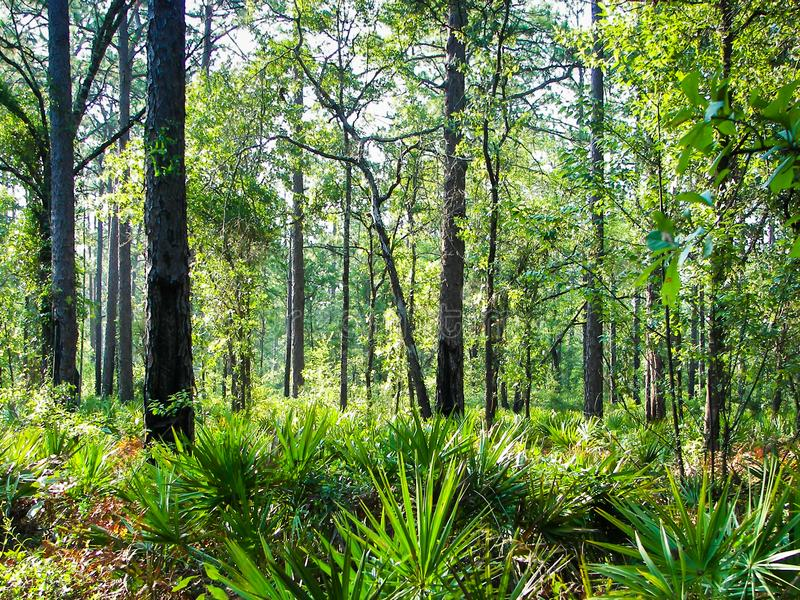 Saw Palmetto forest. Saw Palmetto`s line the forest floor on a summer day royalty free stock photography