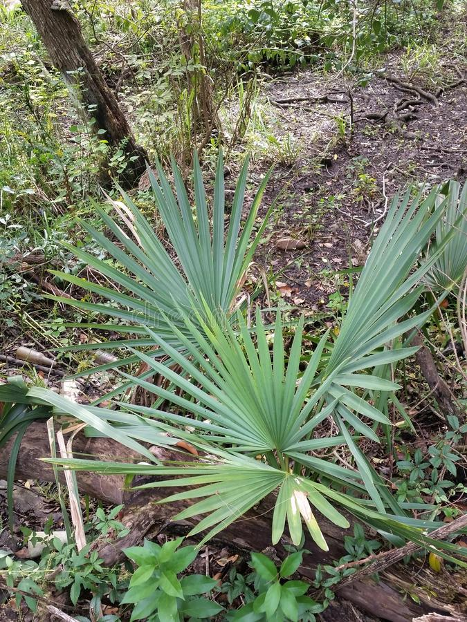 Louisiana Palmetto in the Woods. A saw palmetto in the subtropical woods of Louisiana royalty free stock images