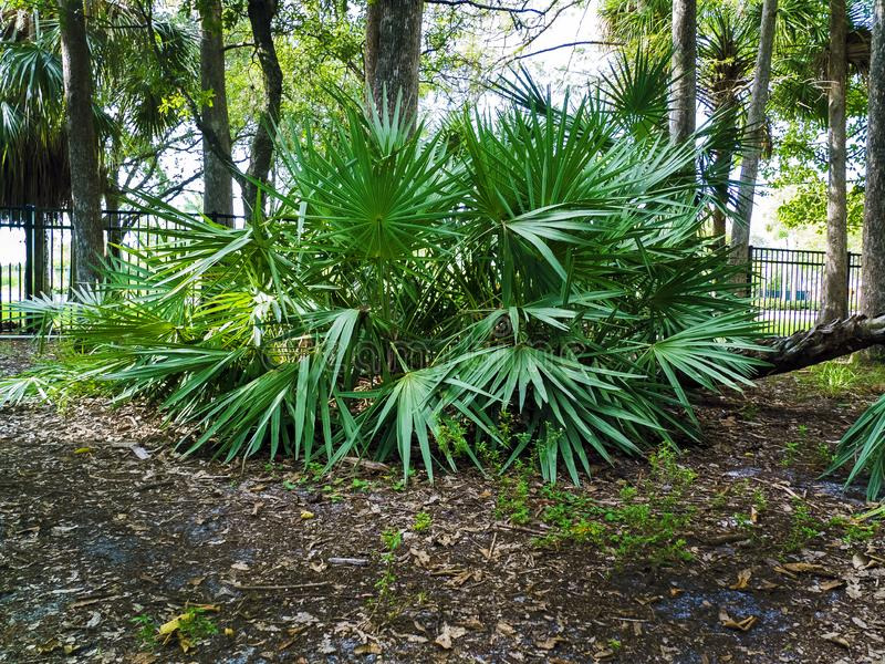 Saw Palmetto Large Tree in a Public Park. Saw Palmetto Tree in a Public Park by the Fence. Large Saw Palmetto Tree in a Public Park in Florida by a Hiking Trail stock image