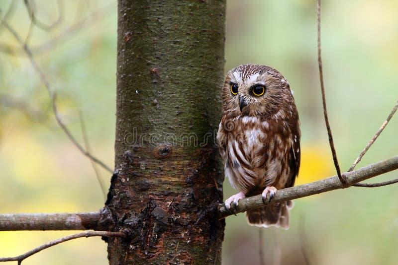 Saw Whet Owl royalty free stock photos