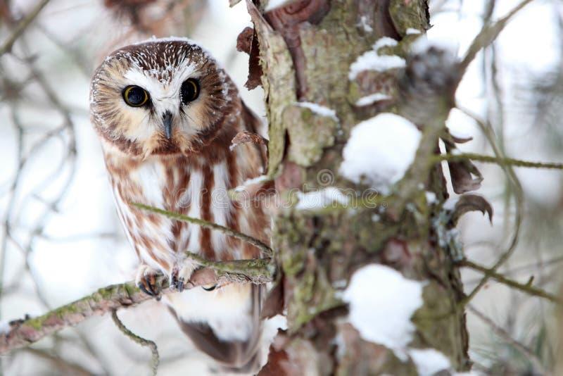 Saw Whet Owl stock image
