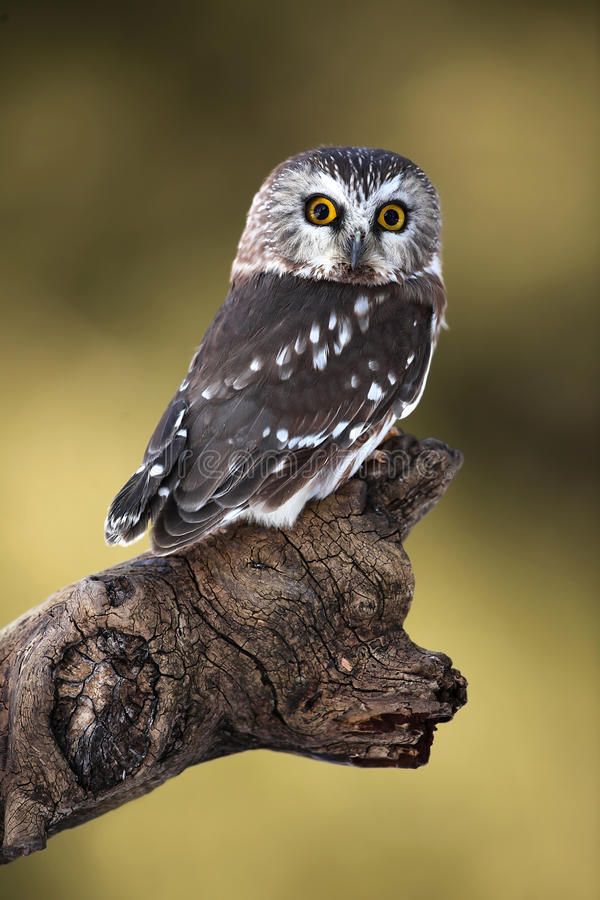 Download Saw-Whet Owl stock image. Image of looking, bird, staring - 17421733