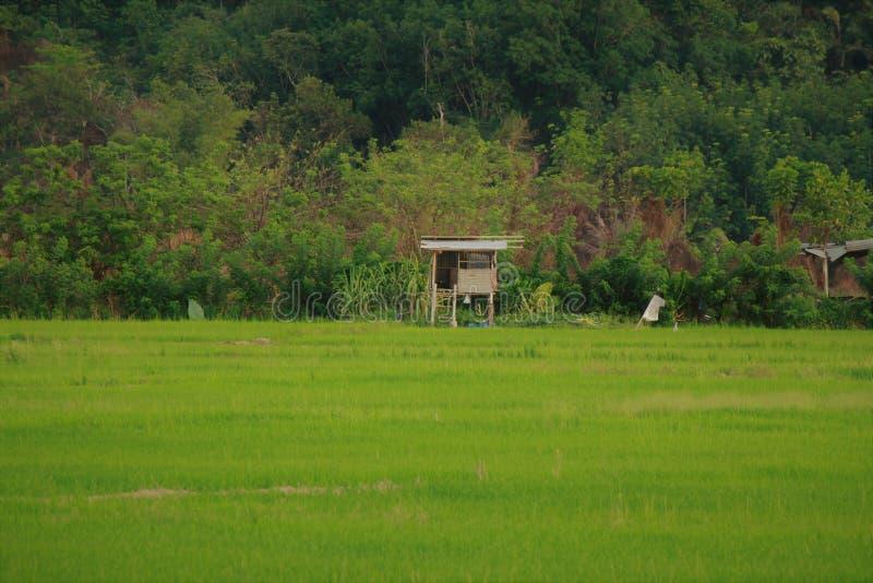 Sawa ris i Kota Marudu Sabah arkivbilder