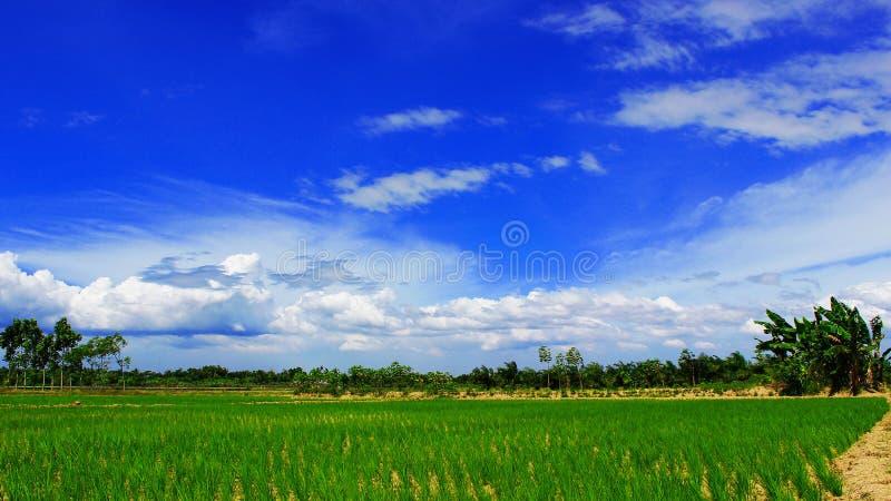 Sawah de Pemandangan fotografia de stock royalty free