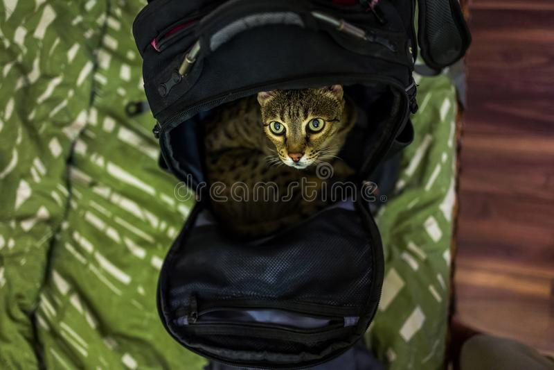 Sawanna kot w plecaku obrazy royalty free