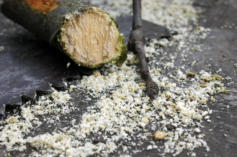 sawed apple tree branch on the background of a hand saw and sawdust in the spring garden stock photography