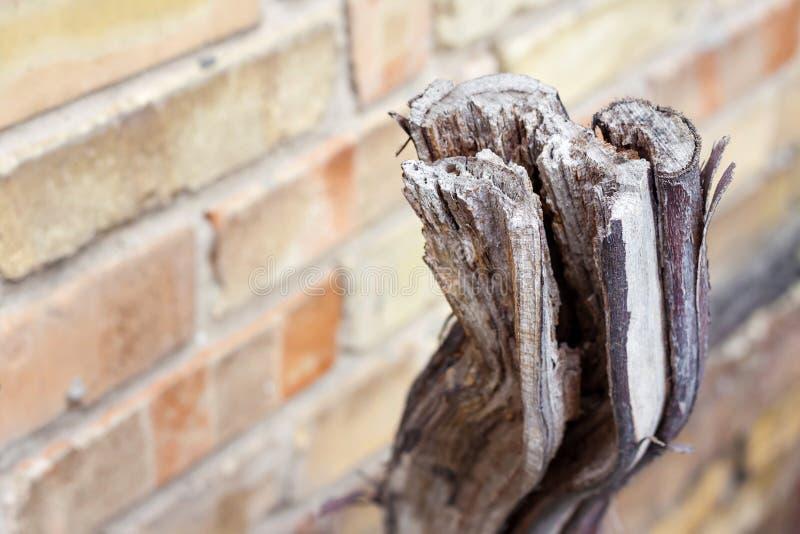 Sawed trocknete Weinstock auf Backsteinmauerhintergrund lizenzfreie stockfotografie