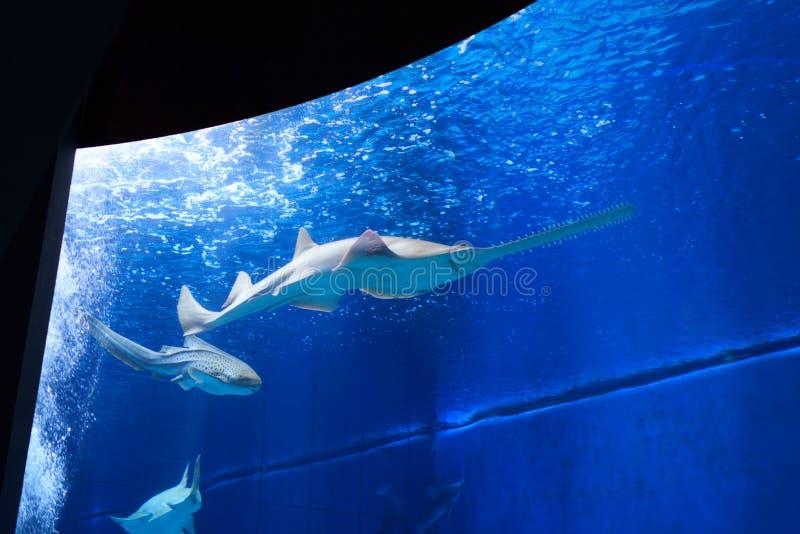 Sawfish στο μεγάλο ενυδρείο στοκ εικόνα