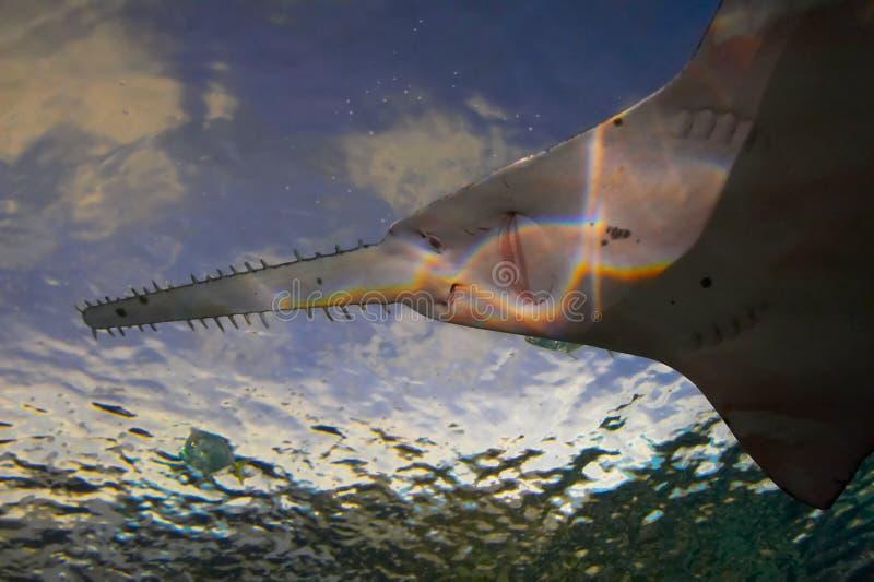 sawfish стоковые изображения