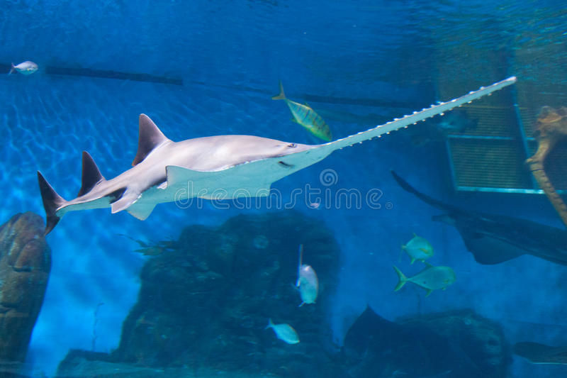 Sawfish royalty free stock photo