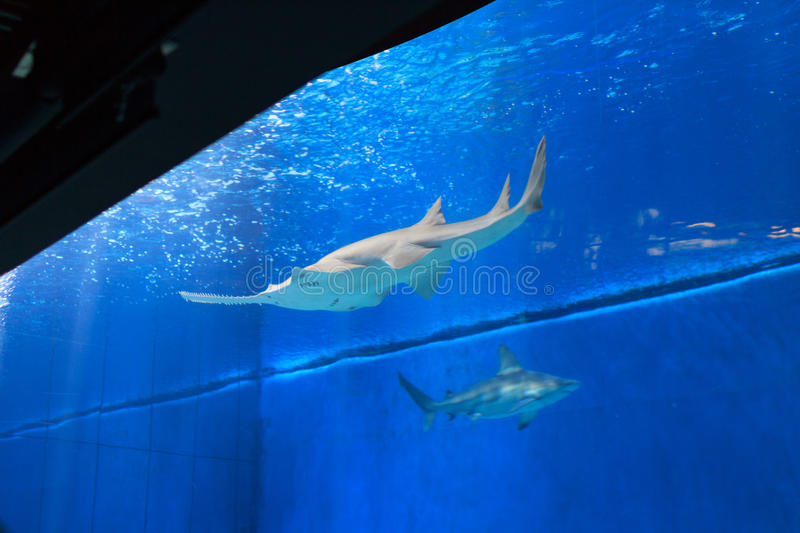 Sawfish in groot aquarium stock fotografie