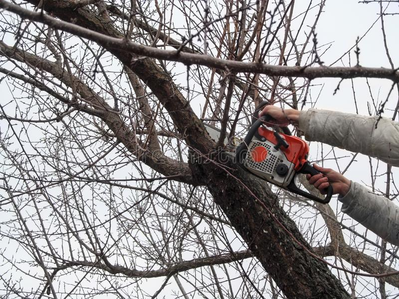 Sawing bare apricot branches in autumn and spring, garden care. Male hands sawing off a tree branch with chainsaw, high,. Background with a copy space royalty free stock image