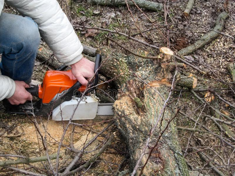 Sawing on the part of the trunk of the apricot tree lying on the ground. Male hands holding a chainsaw and sawing a tree in spring stock photo
