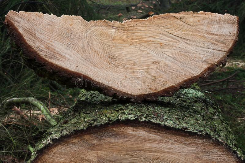 Sawn spruce tree in the forest. Sawn big spruce tree in the forest with cross section with yellow wood and wedge of a tree in the shape of the moon stock images