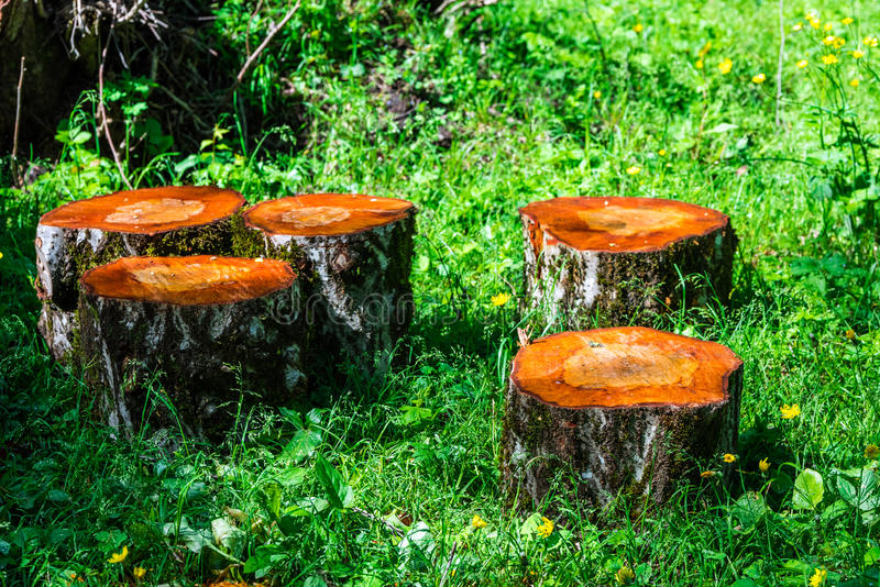 Sawn tree trunk. In the forest. Firewood stock photos