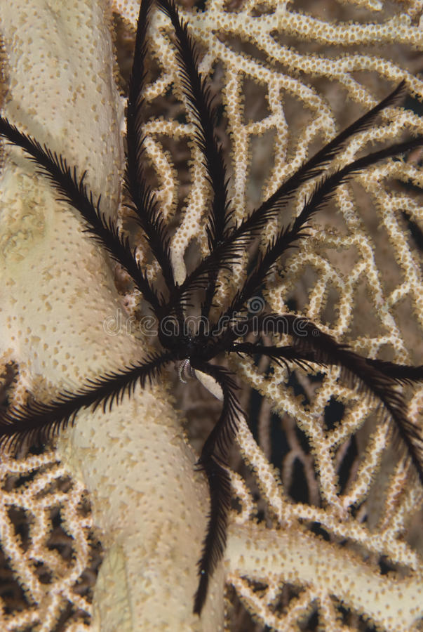 Free Sawtoothed Feather Star Royalty Free Stock Images - 12659929