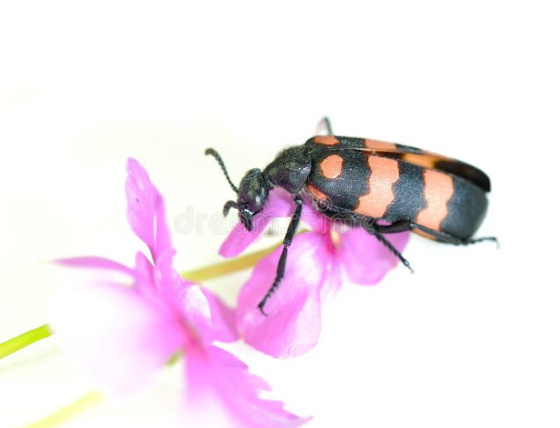 Sawyer Beetle Stock Image