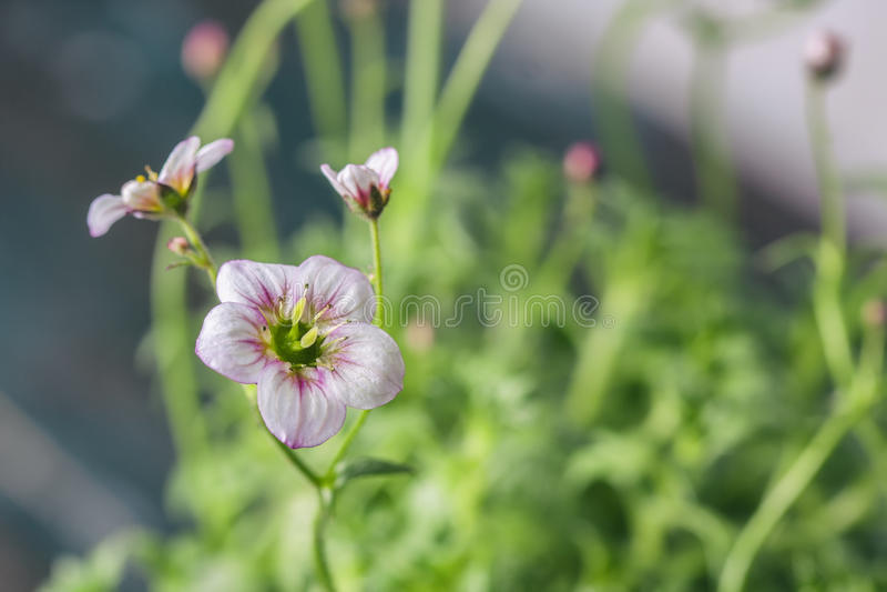 A saxífraga branca e cor-de-rosa floresce o close up macro imagens de stock royalty free