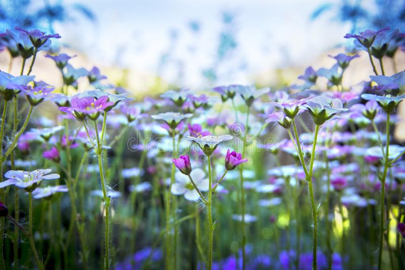 Saxífraga branco-cor-de-rosa pequena no fundo delicado do céu azul com foco macio Flores bonitas no prado do verão no dia ensolar fotos de stock