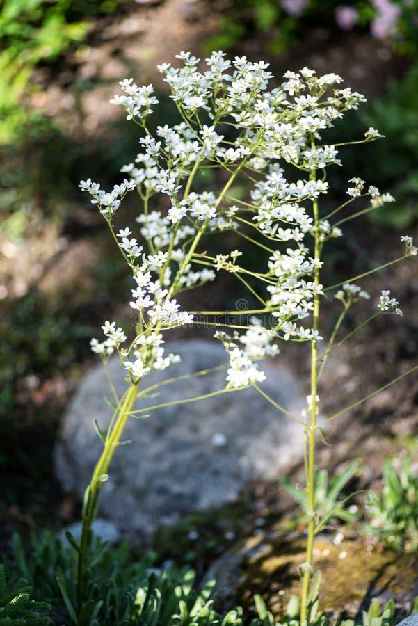 Saxífraga de Pyrenees, inflorescência do longifolia do Saxifraga fotografia de stock