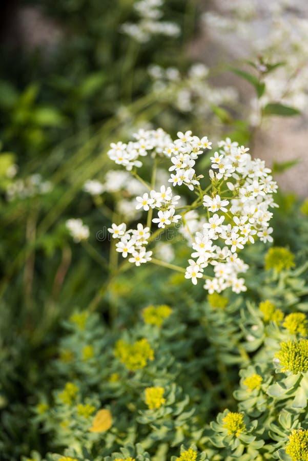 Saxífraga de Pyrenees, longifolia do Saxifraga imagem de stock